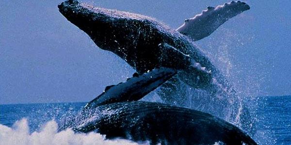 Exposición de ballenas de las playas de Vichayito en aeropuerto de Atlanta